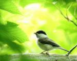 コガラ幼鳥