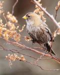 ハギマシコ幼鳥