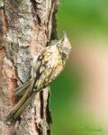 キバシリ幼鳥